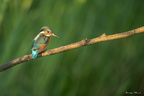 Martin pêcheur d'Europe (Alcedo atthis)-Common kingfisher
